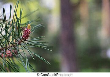 The origin of pine cones. New pine cones. Pine branch with young cones.
