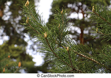 The origin of pine cones. Pine forest in spring.
