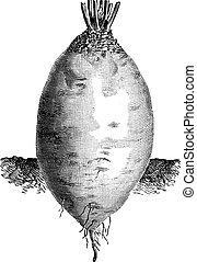 The ovoid shape Yellow Beet or Beta vulgaris vintage engraving