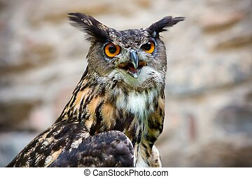The Owl - portrait. - Close up of the head of a beautiful...