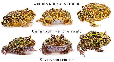 The pacman frogs set white
