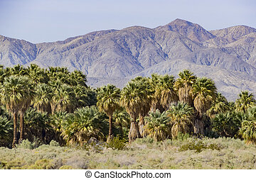 Coachella Valley Preserve - The palm trees at Coachella...