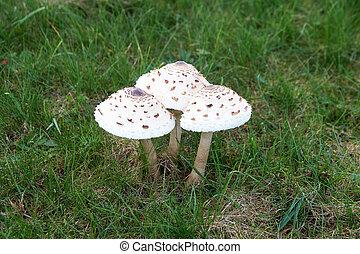 The parasol mushroom Macrolepiota procera or Lepiota procera growing in the forest.
