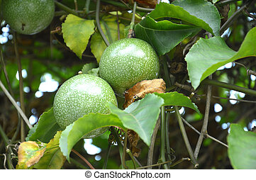 the passion fruit - the green passion fruit plant