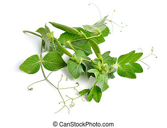 The pea or Pisum sativum isolated on white background.