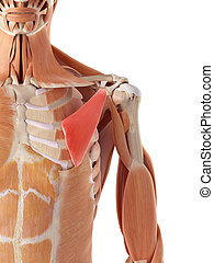 The pectoralis minor - medically accurate illustration of ...