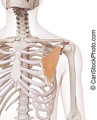 The pectoralis minor - medically accurate muscle ...