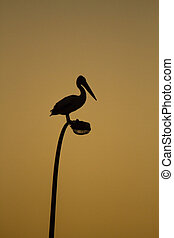 The Pelican perch on the top of road lights
