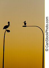 The Pelicans perch on the top of road lights