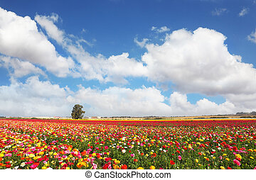 The peony garden ranunculus grow in kibbutz - Spring...