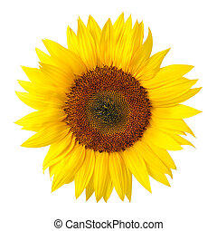 The perfect sunflower on white - Bright studio shot of a ...