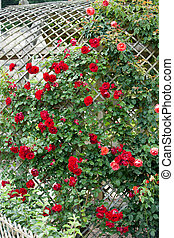 The pergola with red roses . The valley of Loire France