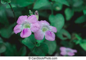 The periwinkle plant (Vinca flower) ? Catharanthus roseus or lochnera rosea, also known as rosy periwinkles. Periwinkle pink flowers and buds close up. Colorful Periwinkle Flowers and Plants.
