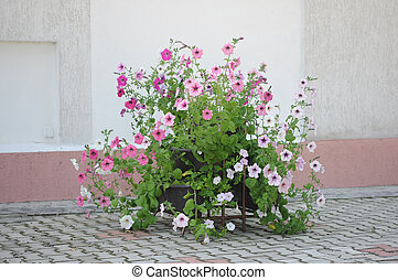 the petunia flower in garden