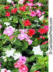 The petunias pink flowers in garden