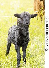 lamb in a meadow
