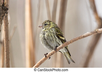 siskin in the snow