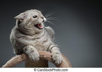 cat - the photo very agressive cat, scottish-straight, on ...