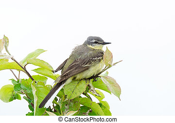 wagtail on a branch - The photograph shows a wagtail on a ...