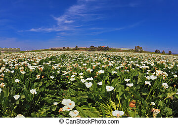 The pictorial field of white flowers