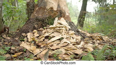 The pieces of wood from the tree trunk eaten by the beaver