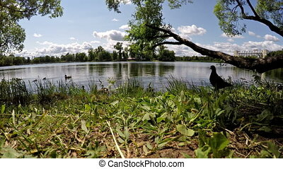 The pigeon eats grain crumbs on the bank of the lake - The...