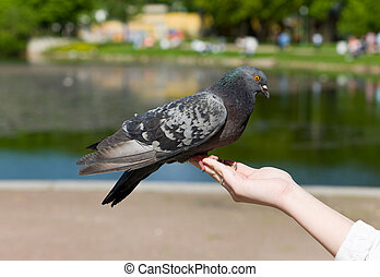 The pigeon on a hand