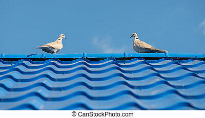 The pigeons on the roof tile