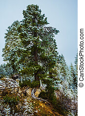 The pine covered with the first snow