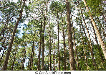 the pine forest in the mountain
