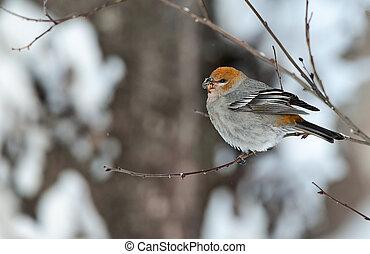 The Pine Grosbeak (female) - A female Pine Grosbeak (...