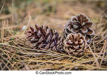 The pine tree cones