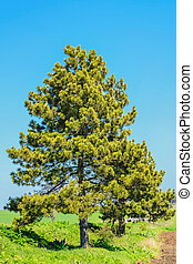 The Pine Tree - Pine Tree against of the Blue Sky