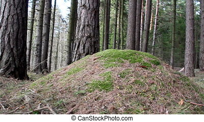The pine trees and the hill - The pine trees and the small...