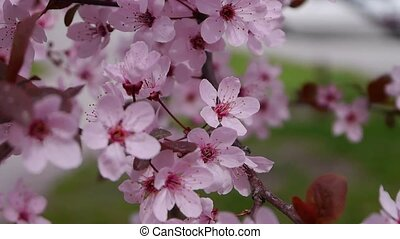 The pink cherry blossoms are in full bloom. Sakura background
