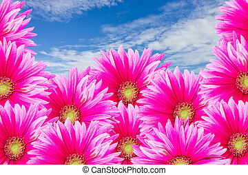 The pink Gerbira flowers with blue sky