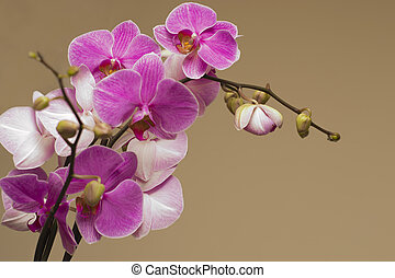 The pink orchid on background