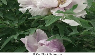 The pink peony flowers is close up color with green leaves, ...
