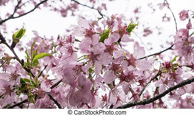 The pink sakura flower branch (cherry blossom).