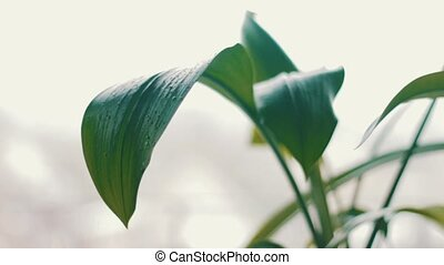 The plant on the windowsill - Flower, whose leaves in water...