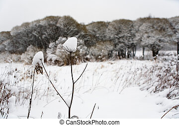 "The plant ""umbrella"" in winter is covered with snow."