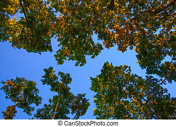 Platanus hispanica tree on blue background - The Platanus ...