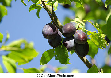 the plums on a tree