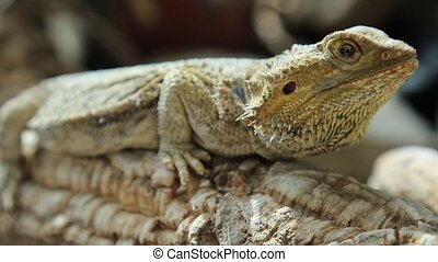 the Pogona Vitticeps - The Pogona Vitticeps also called...