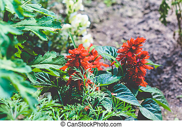The poinsettia (Euphorbia pulcherrima) also known as Christmas Star, is a shrub or small tree of diverse spurge family. Well known for its red and green foliage, is used in Christmas floral displays.