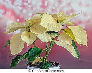 The poinsettia yellow flowers (Euphorbia pulcherrima), The Flower of the Christmas, red bokeh lights background