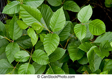 Poison Ivy - The Poison Ivy plant causes rashes, hives and ...