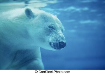 The Polar Bear /Ursus Maritimus/ Under the Water. Head shot. Horizontal Photo. POlar Bear is the World's Largest Land Carnivore.