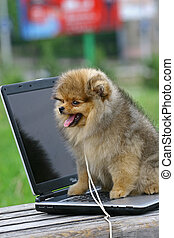 The Pomeranian (often known as a Pom) is a breed of dog of the Spitz type, named for the Pomerania region in Central Europe (today part of eastern Germany and northern Poland) and classed as a toy dog