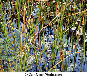 The pond with the lilies